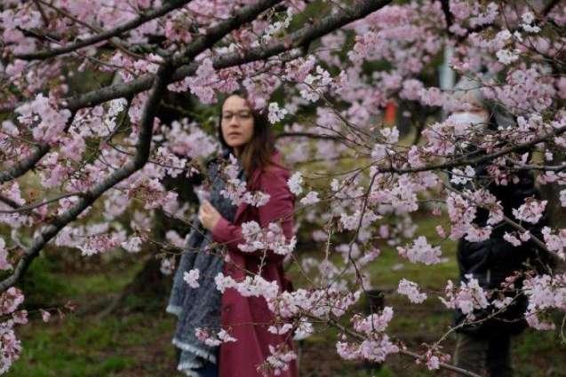 Cherry Blossom Season In Pakistan Pakistan Adventurous Tours